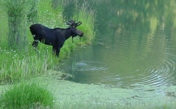 Long ago we used to have moose come right up to our ponds but since the wolves were introduced we no longer see them here.