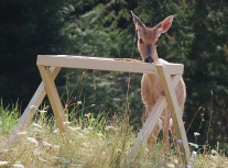 Our deer are special guests welcome at Lifewater Ranch.