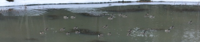 Canadian Geese arrive at ranch 2018-01-31