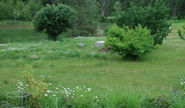 Weeds blooming at Ranch -small