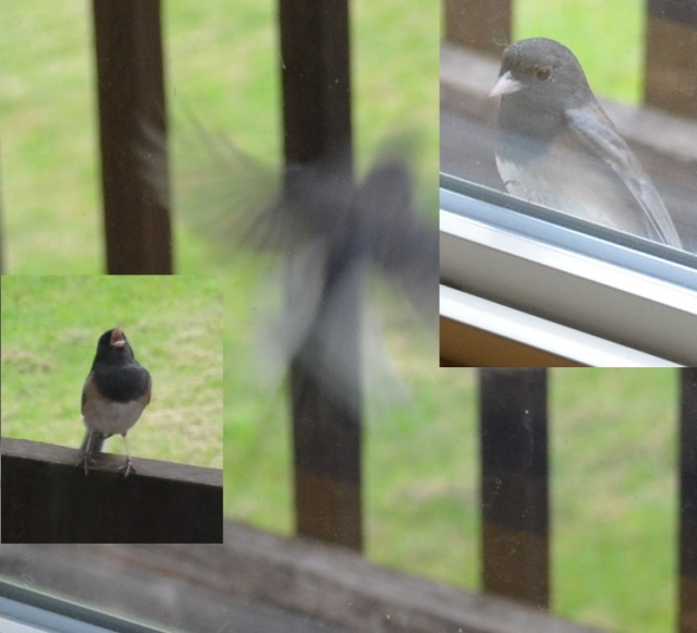 Attack of the Chickadees (2)