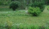 Our back yard unmowed. We don't mind the weeds which are generally good for the soil and have medicinal properties. But for our guests, the back yard is generally mowed clean.