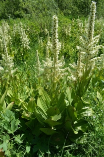 Blooming California False Hellebore on the way to Red River Hot Spring (3)