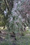 Interesting Willow Tree in Craigmont