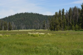 Meadow with blooming False Hellbare on the way to Red River Hot Springs