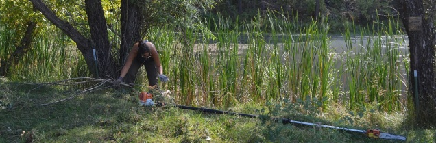 Emily gathers cuttings from the willows around Island Pond to build a burn pile.