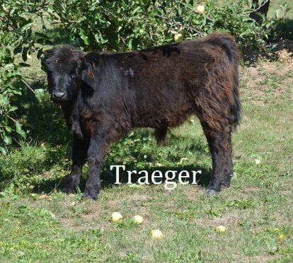Tregger is one of our steers that is destined for the Tregger Grill.