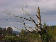 A dead tree on the way to carnation.JPG