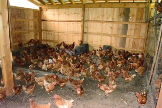 More chickens than you can shake a stick at!