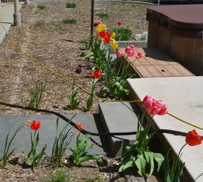 In April and May you might see our tulips in bloom planted around the pool.