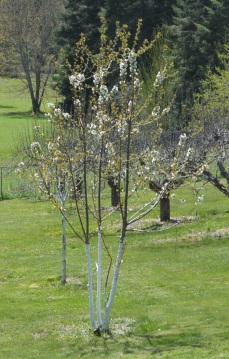 Spring is always beautiful. This is our cherry tree in our small orchard.